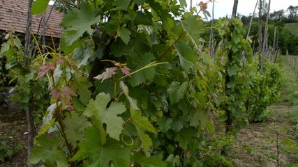 Traditional Cultivation of Vine Grapes