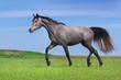 Beautiful grey horse run at the meadow