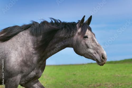 Plagát, Obraz Grey horse portrait
