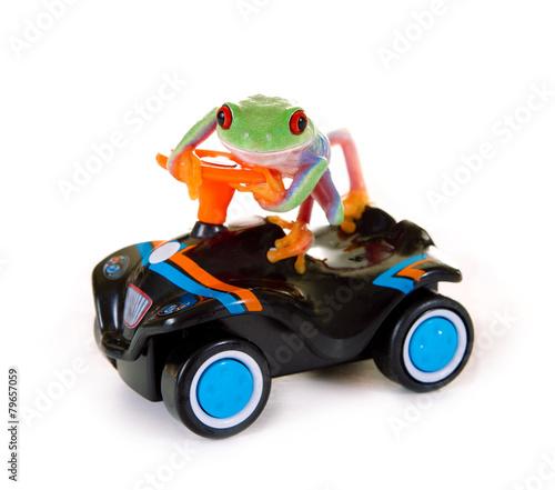 Rotaugenlaubfrosch auf Spielzeugauto