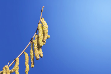 twig catkins in spring against blue sky