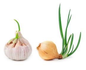 Germinating onion and garlic