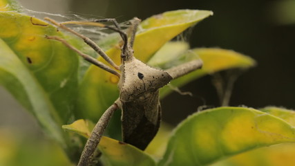 Conifer Seed Bug South America
