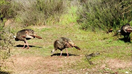 Female Turkeys