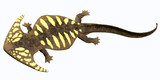 Diplocaulus Permian Amphibian poster