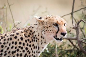 Cheetah with young in the Masai Mara