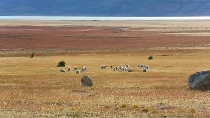 Herd of goats grazing in patagonian farmland