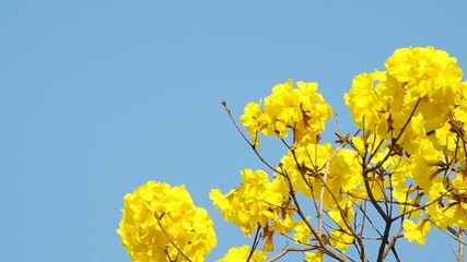 the golden tree flowers are shaking with calmly wind