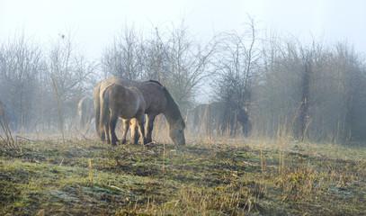 Wild Konik horses in nature in winter