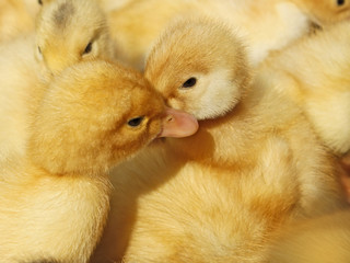 Two small ducklings in herds