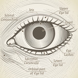 Vector human eye etching with captions. Cornea, iris and pupil poster