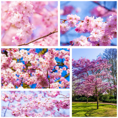 Beautiful pink cherry blossom (Sakura)