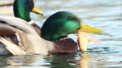 Duck Eating Fish