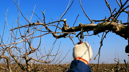 Pruning fruit trees with garden shears