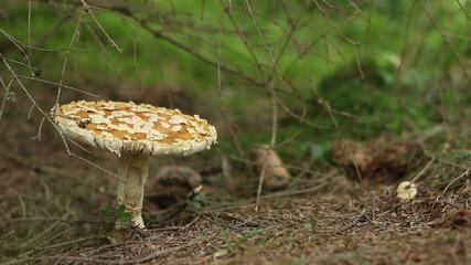 Focusing a Toxic Mushroom