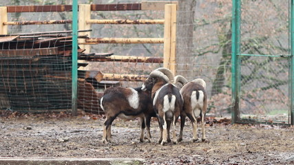 Group of Mouflons