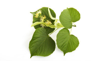 Lindenblüten und Blätter der Sommerlinde (Tilia platyphyllos)