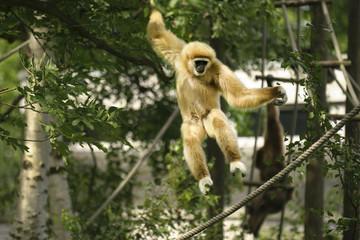 Gibbon springt.