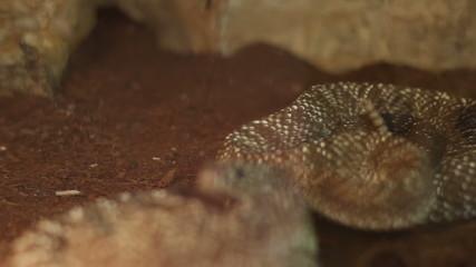 Rattlesnake Curl