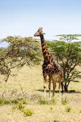 giraffe on a background of grass