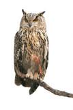 Eurasian eagle-owl on white