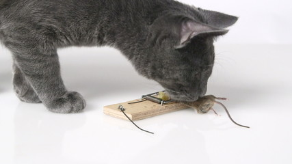 Young domestic cat first time seeing mouse in a mousetrap
