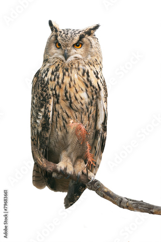 Staande foto Uil Eurasian eagle-owl on white