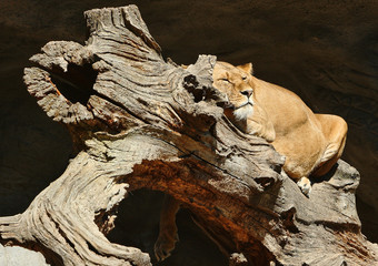 Sleeping Lioness on a tree in zoo
