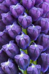 Nazareno ( Muscari comosum ) , flower detail