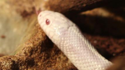 White Snake Head