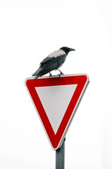 Crow on road sign