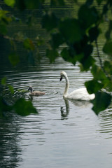 Swan with baby on a lake