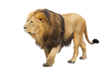 adult lion takes a step, is isolated on a white background