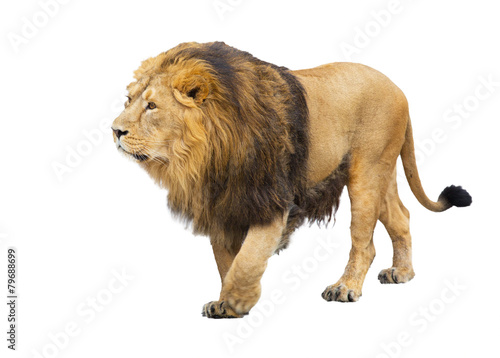 Foto op Aluminium Leeuw adult lion takes a step, is isolated on a white background