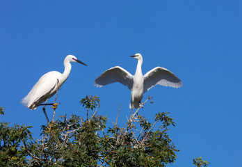 Great Egret,  a high bush with her grown young, Morocco