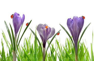Crocus flowers with dewy green grass and ladybirds