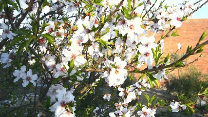 Almond bloom in spring, in a sunny day