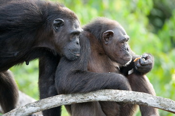 Two chimpanzees on a branch. Funny frame.