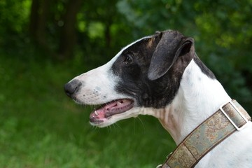 Greyhound Welpe Portrait