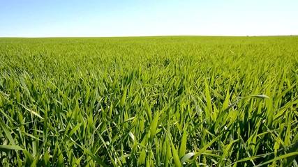 Green wheat field growing under the sun
