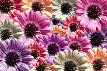 Purple, pink background created from daisy flower bloom