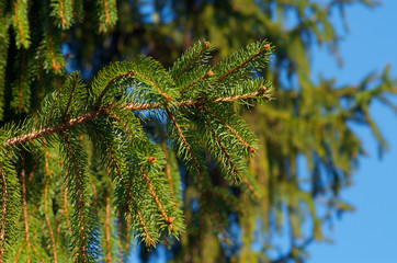 Fir tree branch against blurred background