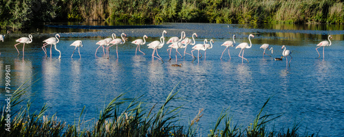 Foto op Canvas Flamingo Fenicotteri in marcia