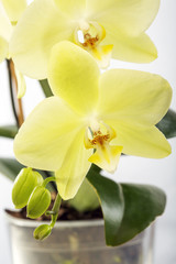 Blooming yellow orchid.