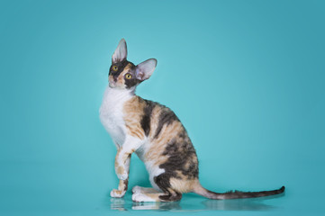 Cornish rex isolated on a colored background