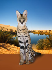 wild cat on the background of the desert and the oasis