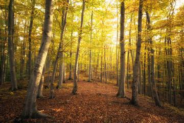 Buchenwald und Herbstfärbung