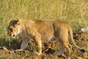 Small cute lion cub walking