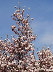 magnolia tree blossoming