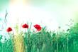 Red poppy flowers in grass